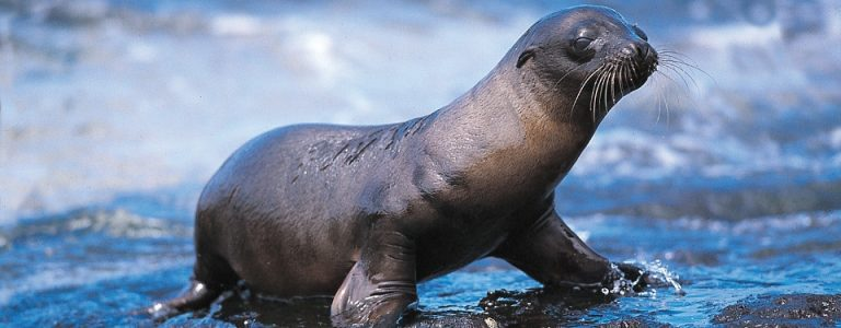 Galapagos pup sea lion