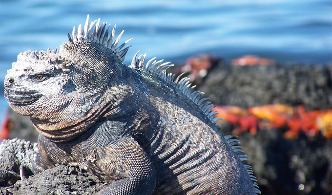 Marine iguana with its white snout