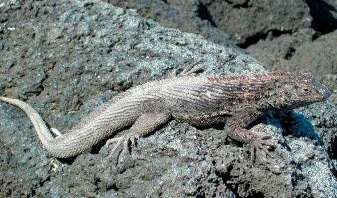 Galapagos islands lava lizards