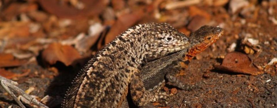 Lava lizard of the Galapagos islands