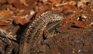Lava lizard of the Galapagos islands