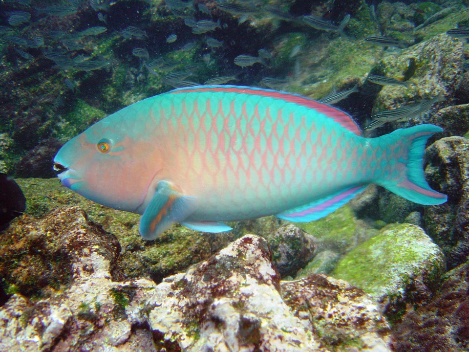 Bluechin parrotfish in the Galapagos