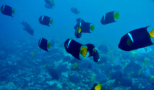 King angelfish in Urbina Bay