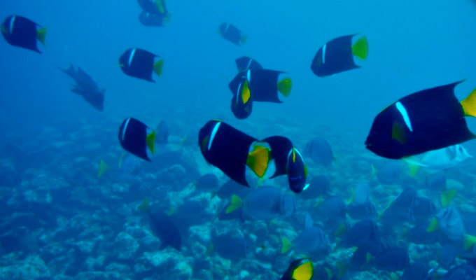King angelfish in Urbina Bay