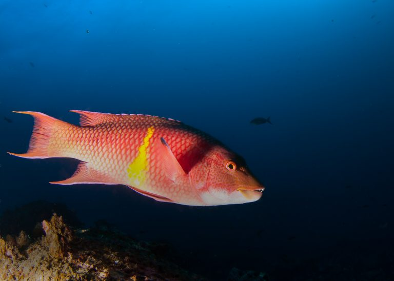 Mexican hogfish in the Galapagos