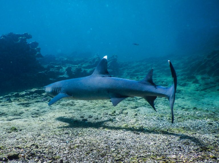 Whitetip reef shark in the Galapagos