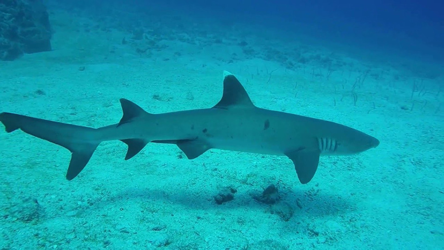 White-tip shark