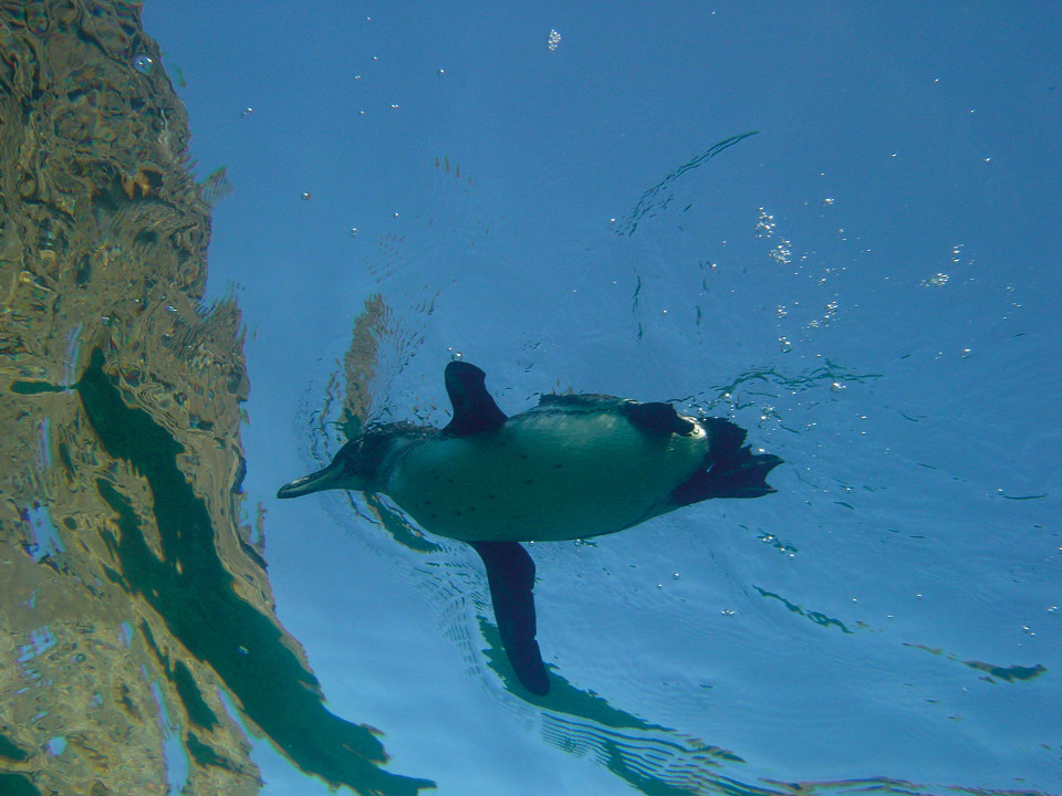 A Galapagos penguin swimming in the ocean