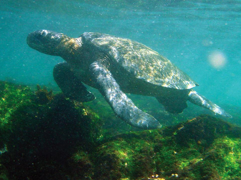 Galapagos green sea turtles