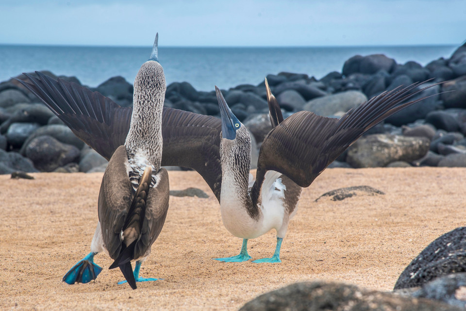 Blue-footed boobies during their courtship dance