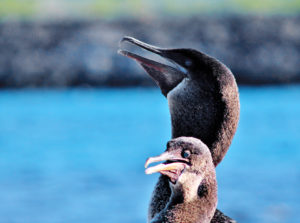 Galapagos islands flightless cormorant