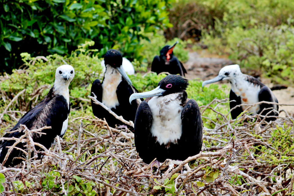 Magnificent frigatebird chicks