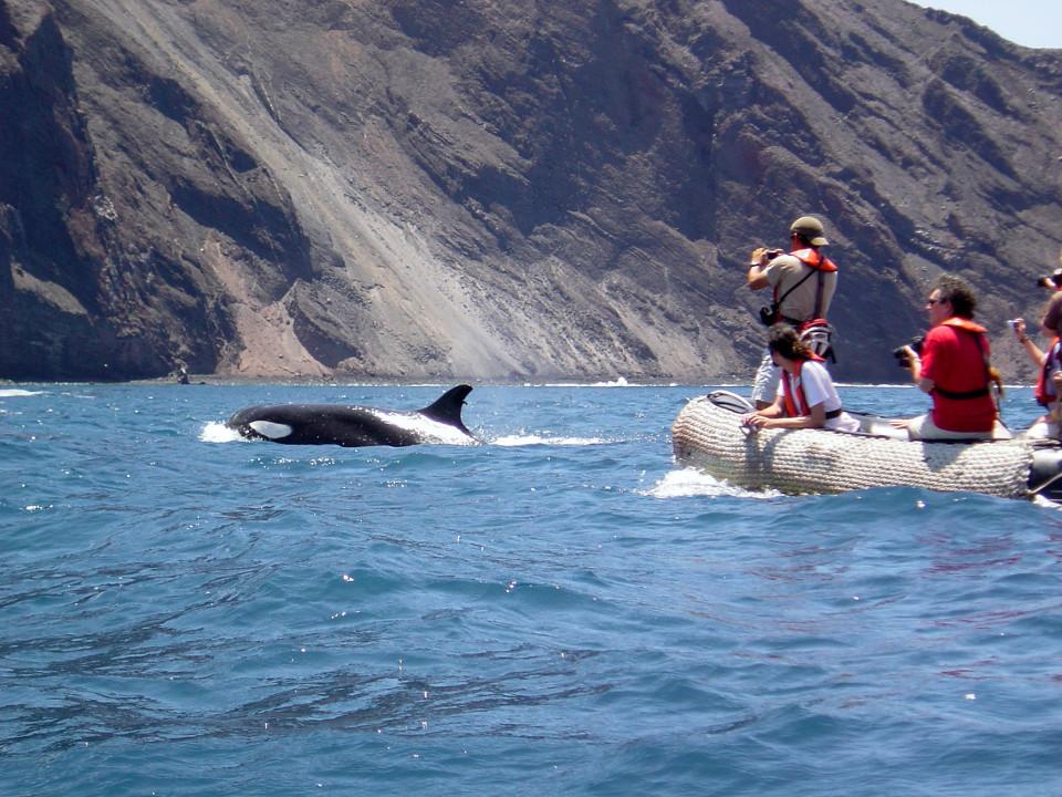 Galapagos orcas