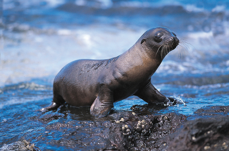 Galapagos pup sea lion