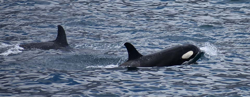 Killer whale pod in the Galapagos islands