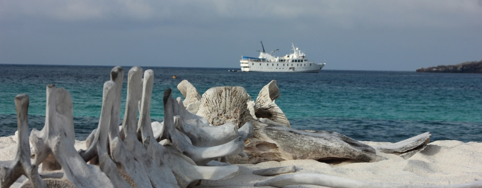 Whale bones found on the Galapagos islands