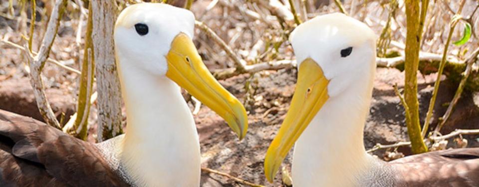Galpagos Albatrosses