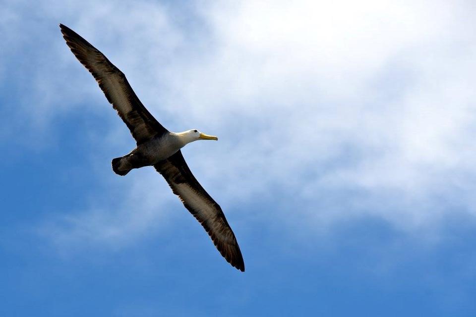 Albatross migration