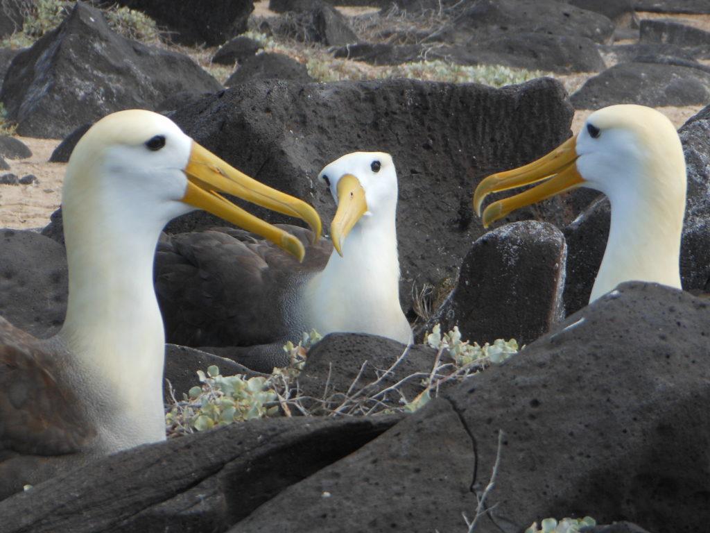 A group of albatross