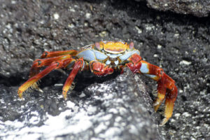 Galapagos sally lightfoot crab