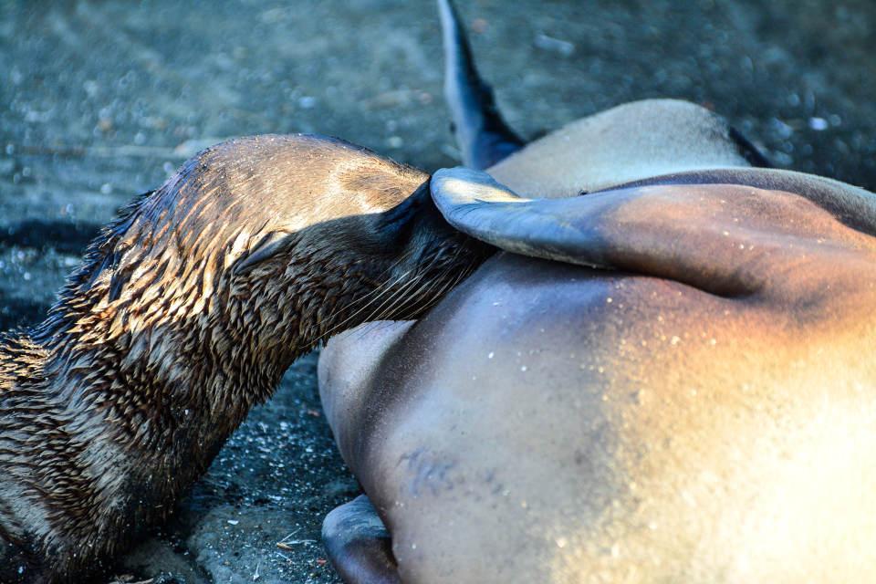 Sea lion pup feeding