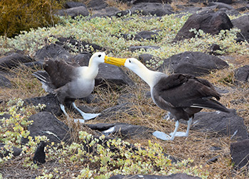 A couple of albatross in the Galapagos Islands