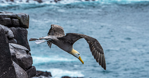 Albatross flying near the ocean in the Galapagos Islands