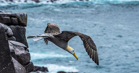 Albatross flying near the ocean in the Galapagos Islands
