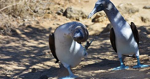 Blue-footed boobies at Punta Pitt, Galapagos Islands