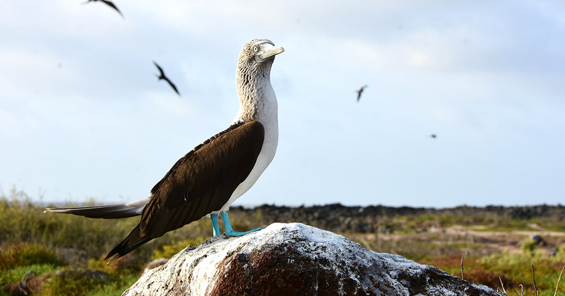 Blue-footed booby from the Galapagos Islands