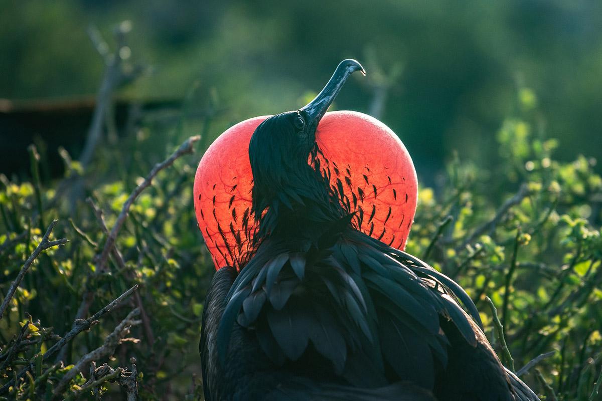 Galapagos magnificent frigatebird