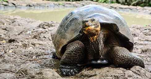 Giant tortoise of the Galapagos Islands