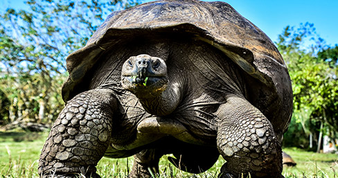 Giant tortoise at Santa Cruz, Galapagos Islands