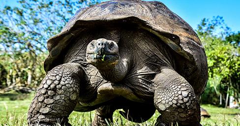 Giant tortoise at Santa Cruz, Galapagos Islands