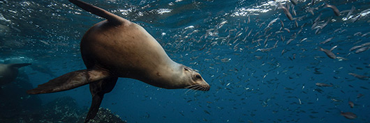 Galapagos Islands sea lion