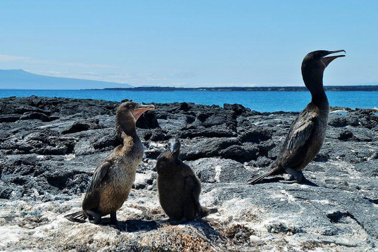 Flightless cormorants in the Galapagos