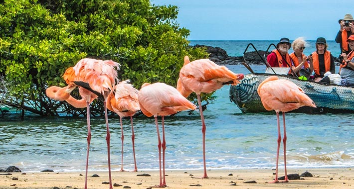 Large flamingos in the Galapagos
