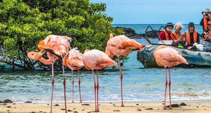 Large flamingos in the Galapagos