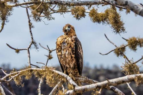 Galapagos hawk at Santa Fe Island.