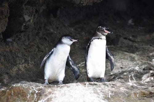 Galapagos penguins at Urbina Bay.