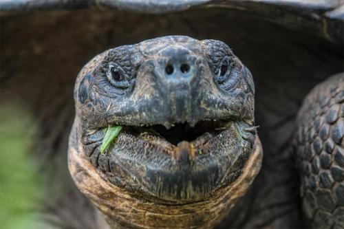 Galapagos Islands iconic giant tortoise.