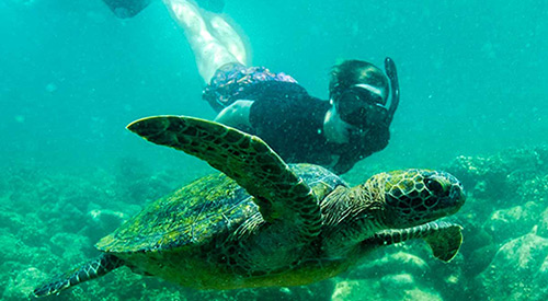 Sea turtle seen while snorkeling on the Galapagos Islands