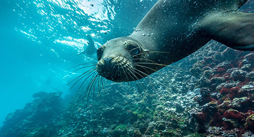Galapagos sea lion underwater