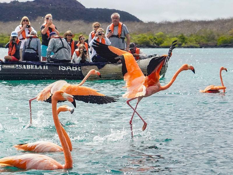 American flamingos in Floreana Island